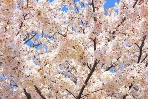 cherry-blossom_00006